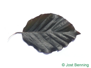 The ovoïde leaf of Dawyk Beech