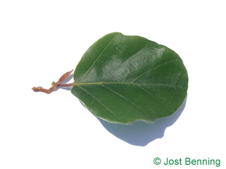 The arrondie leaf of Round-leaved European Beech