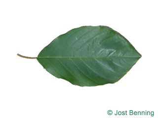 The ovoïde leaf of Alder Buckthorn