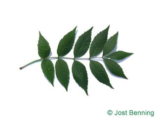 The composée leaf of frêne élevé | frêne commun
