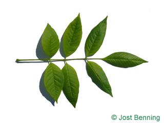 The composée leaf of frêne citrouille | fraxinus profunda