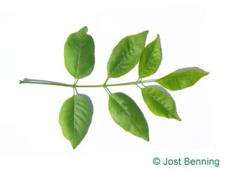 The composée leaf of frêne du texas