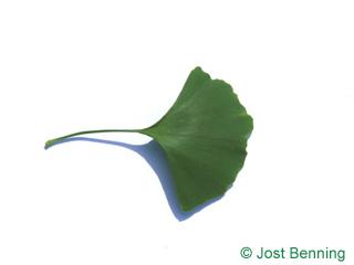 The en forme d'éventail leaf of ginkgo | arbre aux quarante écus | arbre aux mille écus