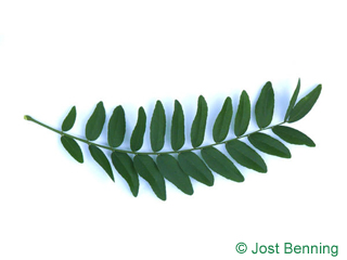 The composée leaf of févier d'amérique | appelé févier épineux | févier à trois épines | carouge à miel