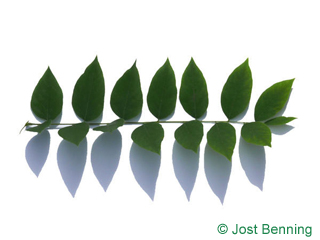 The composée leaf of Kentucky Coffee Tree