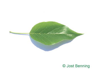 The ovoïde leaf of Osage-Orange, Bois-D'Arc