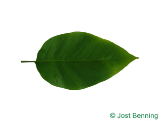 The ovoïde leaf of Cucumber Tree