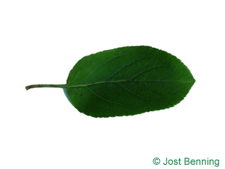 The ovoïde leaf of European Crab Apple