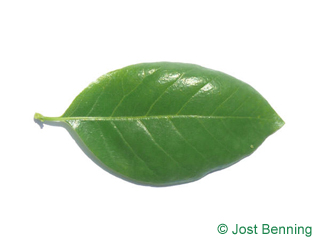 The ovoïde leaf of Black Tupelo