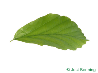 The ovoïde leaf of Persian Ironwood