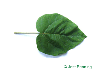 The cordiforme leaf of paulownia