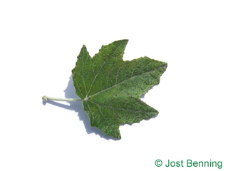 The sinuée leaf of peuplier blanc