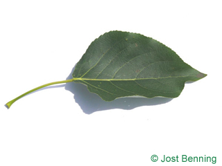 The ovoïde leaf of peuplier baumier