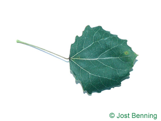 The arrondie leaf of peuplier tremble | tremble | tremble d'Europe