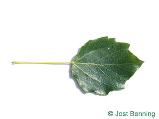 The ovoïde leaf of peuplier gris