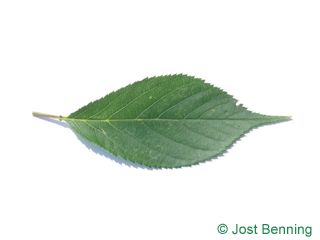 The ovoïde leaf of merisier | cerisier des oiseaux