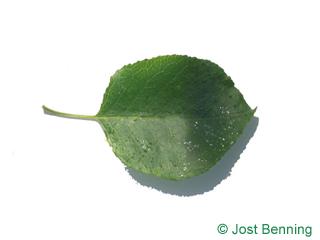 The ovoïde leaf of Mahaleb Cherry