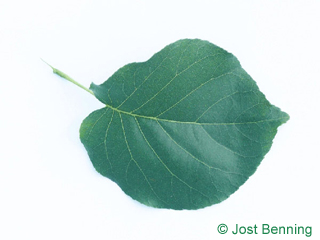The ovoïde leaf of Bird Cherry