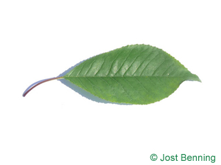 The ovoïde leaf of Fire Cherry