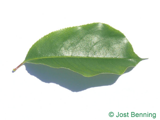 The ovoïde leaf of Black Cherry