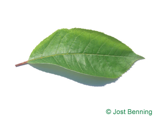 The ovoïde leaf of Bitter Berry