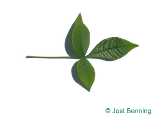 The composée leaf of Hoptree