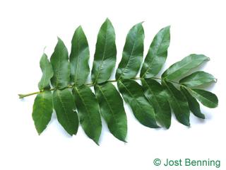 The composée leaf of ptérocaryer du caucase