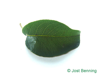 The ovoïde leaf of Pear
