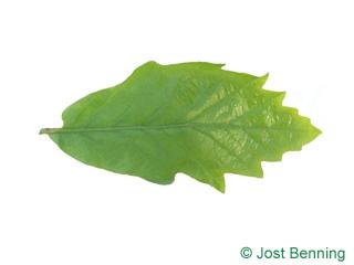The sinuée leaf of chêne bicolore