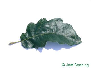 The sinuée leaf of chêne chevelu | chêne lombard | chêne cerris