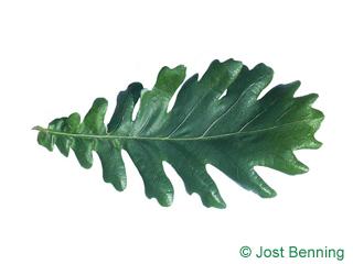 The sinuée leaf of Hungarian Oak