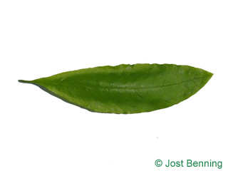 The lancéolée leaf of quercus imbricaria