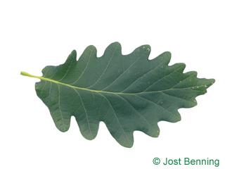 The sinuée leaf of Caucasian Oak