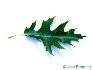 The sinuée leaf of Chêne des marais | Chêne à épingles
