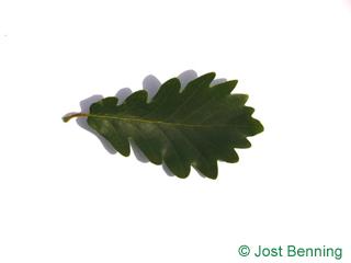 The sinuée leaf of chêne rouvre | chêne sessile