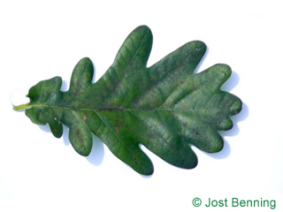 The sinuée leaf of chêne pédonculé