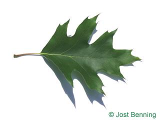 The sinuée leaf of chêne rouge d'amérique