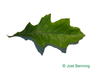 The sinuée leaf of Shumard Oak