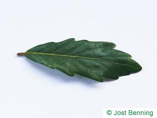 The sinuée leaf of chêne de turner