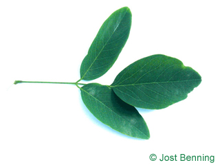 The composée leaf of Street Black Locust