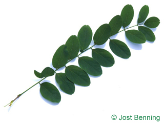 The composée leaf of robinier faux-acacia | acacia
