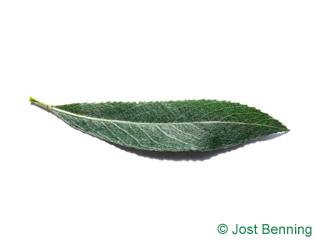 The lancéolée leaf of saule blanc | saule commun | saule argenté | osier blanc | saule vivie
