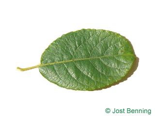The ovoïde leaf of saule marsault | saule des chèvre