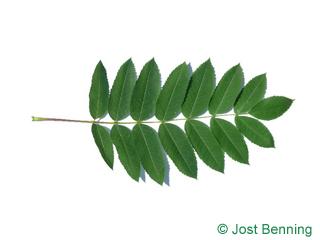 The composée leaf of sorbier décoratif | sorbier d'amérique