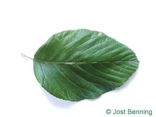 The ovoïde leaf of alisier blanc | alisier de bourgogne, alouchier | sorbier des alpe