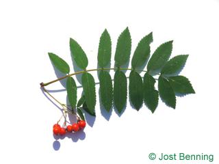 The composée leaf of Sorbier des oiseleurs ou Sorbier des oiseaux