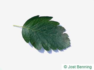 The ovoïde leaf of alisier de suède | sorbier intermédiaire | sorbier de scandinavie