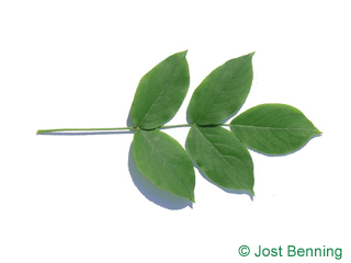 The composée leaf of Bumald Bladdernut