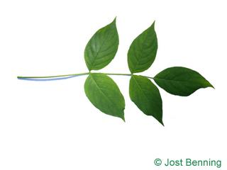 The composée leaf of staphylier à trois folioles