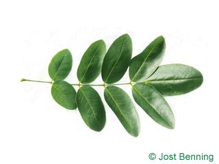 The composée leaf of Pagoda Tree